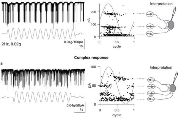 Central vestibular tuning arises from patterned convergence of otolith afferents