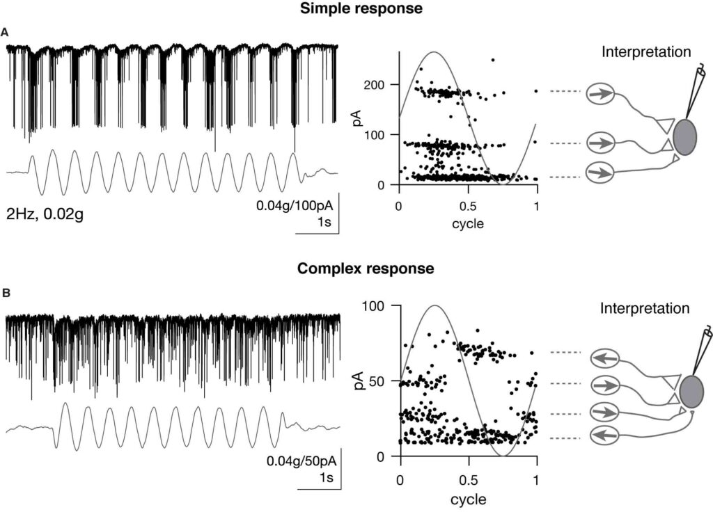 graphical representations of the activity of neurons from electrophysiological recordings in a zebrafish
