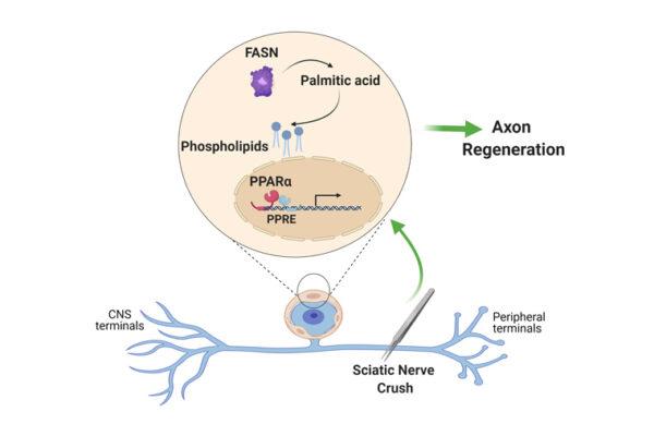 Satellite glial cells promote regenerative growth in sensory neurons