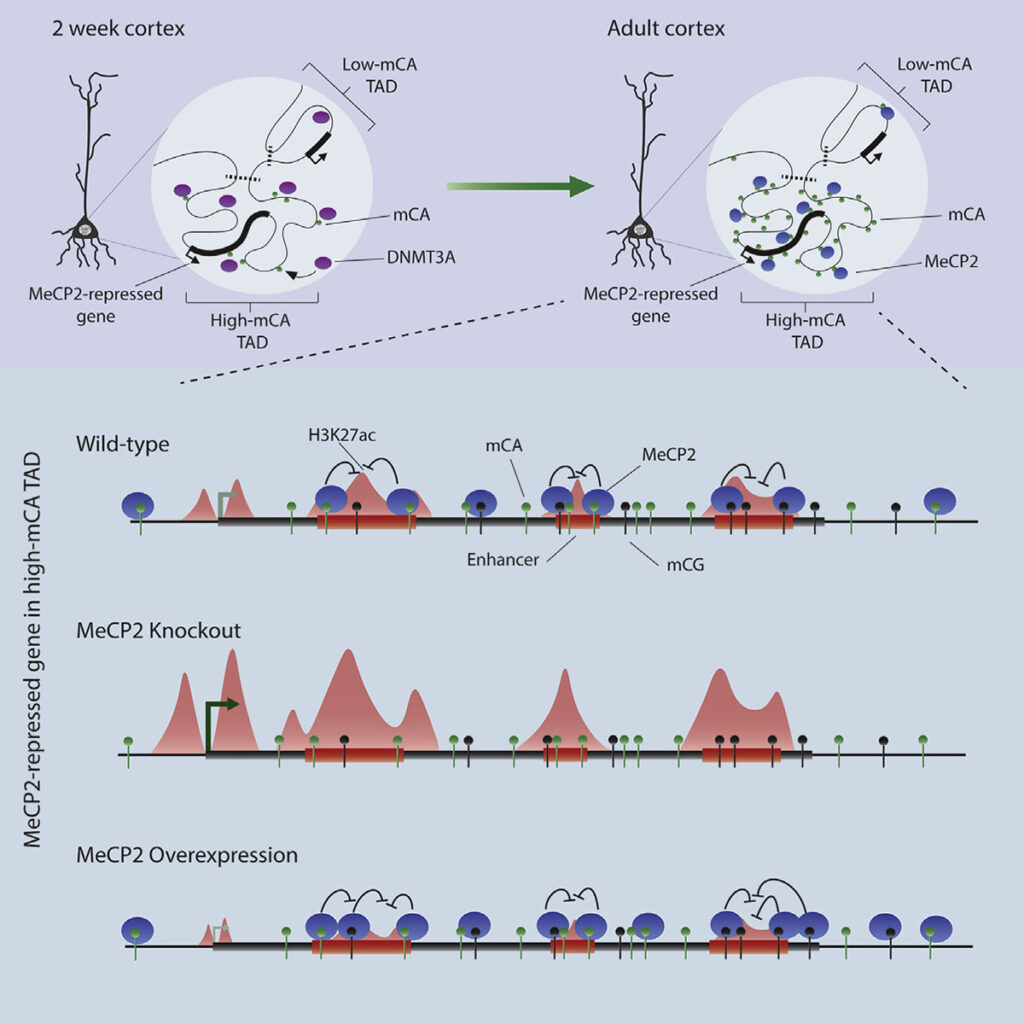 This graphic representation illustrates the consequences of knocking out the mecp2 gene