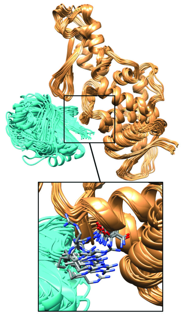 illustration of ube3a protein in gold and ube3a effector protein in blue