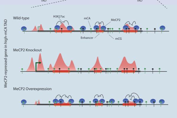 MeCP2 represses enhancers through chromosome topology-associated DNA methylation