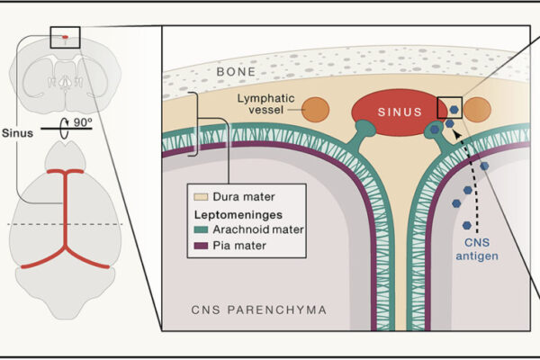 Functional characterization of the dural sinuses as a neuroimmune interface